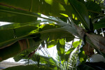 Banana Plant Leaves