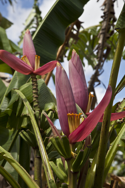 Banana Plant with Pink Flowers