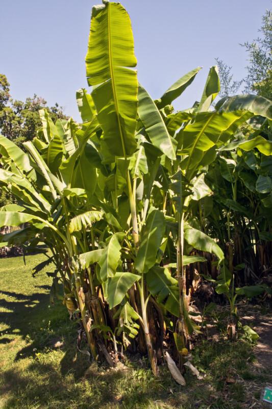 Banana Plants at Capitol Park in Sacramento