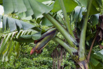 Banana Tree Close-Up