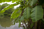 Banana Tree Near a Pond at the Kanapaha Botanical Gardens