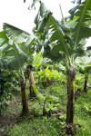 Banana Tree on a Coffee Plantation