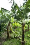 Banana Tree on a Coffee Plantation