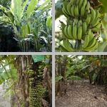 Bananas photographs