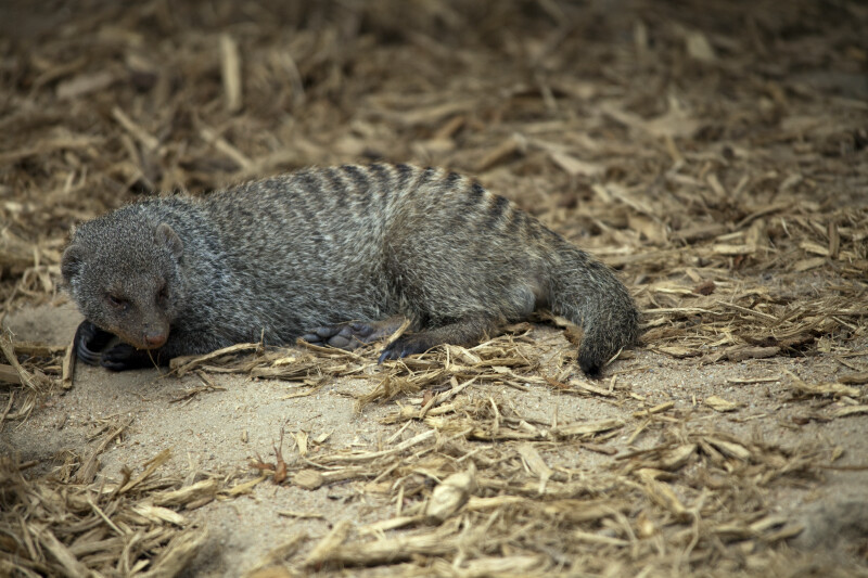 Banded Mongoose Resting