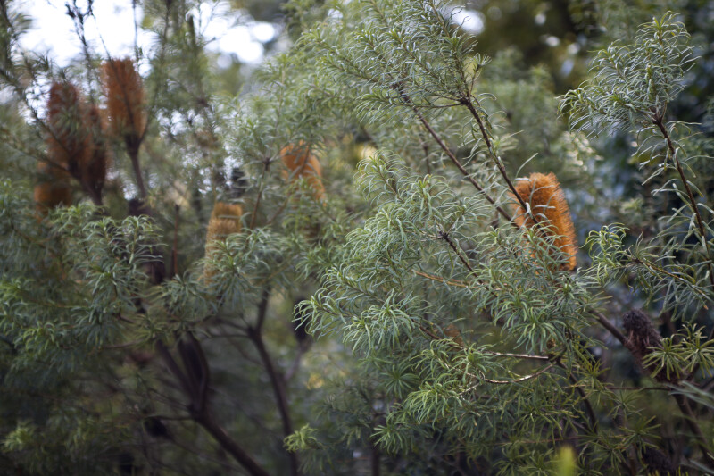 Banksia Tree with Numerous Thin Leaves