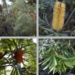Banksia Trees photographs
