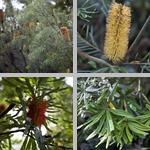 Banksia Trees photographs