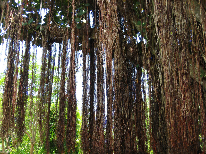 Banyan Fig Roots