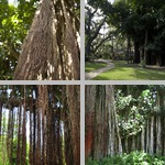Banyan Trees photographs