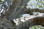 Baobab Tree (Adansonia digitata)