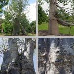 Baobab Trees photographs