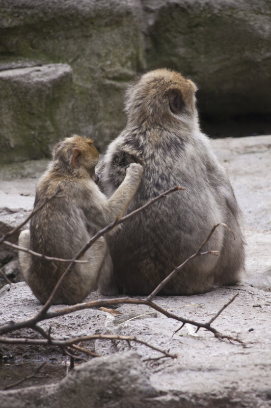 Barbary Macaque Grooming Back
