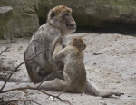 Barbary Macaque Grooming Behavior