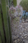 Barbed Cactus Covered in White Hairs