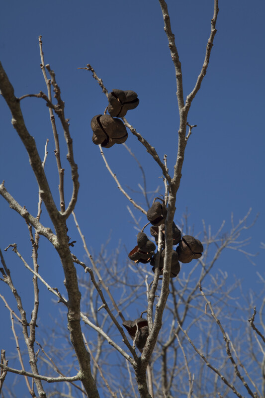 Bare Branches and Nuts of a Mexican Buckeye