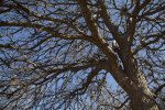 Bare Branches of a Cedar Elm