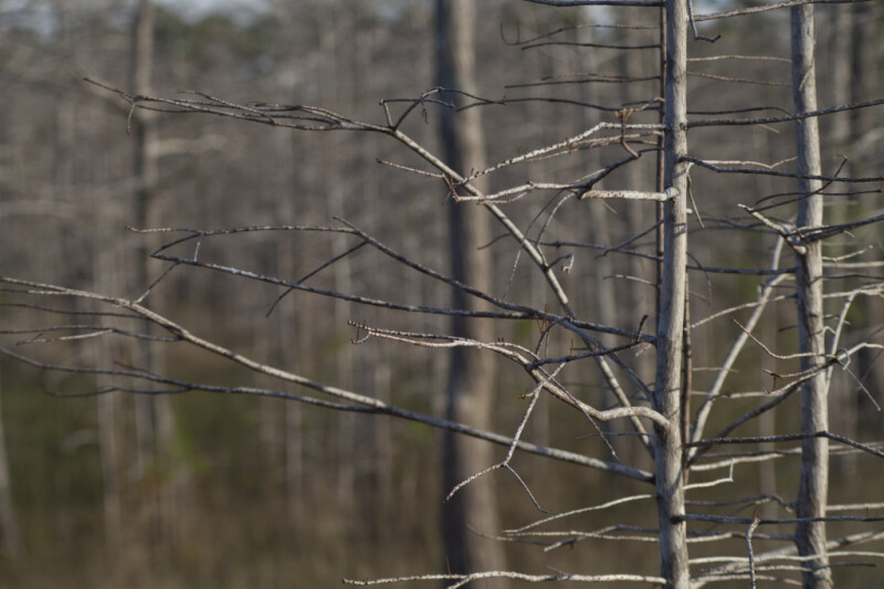 Bare Branches of a Dwarf Bald Cypress Tree