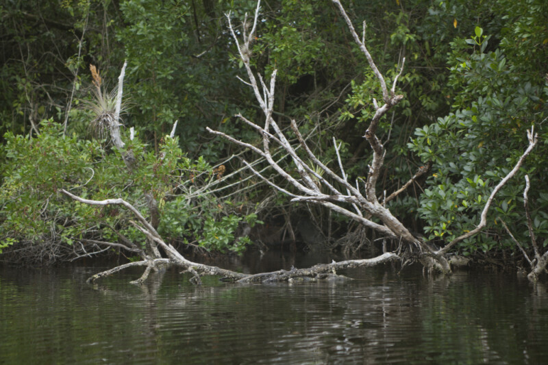 Bare Branches Submerged in the Halfway Creek at Everglades National Park
