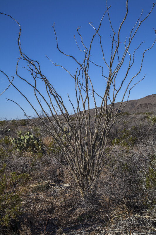 Bare Desert Shrub Along the Chihuanhuan Desert Trail of Big Bend National Park