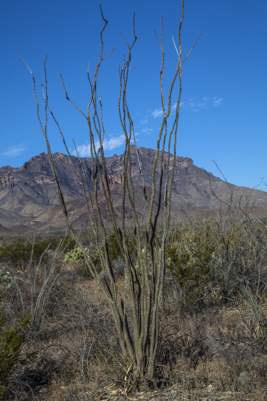 Bare Desert Shrub and Mountain