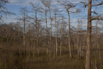Bare Dwarf Bald Cypress Trees and Dry Grass