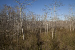 Bare Dwarf Bald Cypress Trees and Grass at the Big Cypress National Preserve