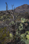 Bare Tree Amongst Prickly Pear Cacti Pads