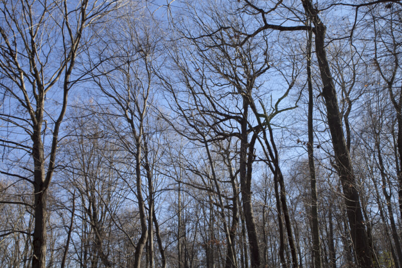 Bare Trees Pictured Against Light-Blue Sky at Boyce Park