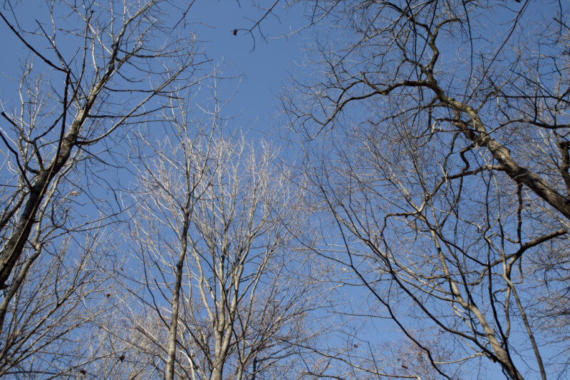 Bare Trees Pictured Against Light-Blue Sky