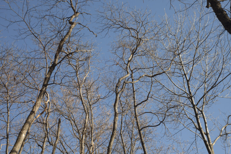 Bare Trees with Many Thin Branches