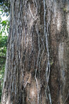 Bare Vines on a Tree Trunk