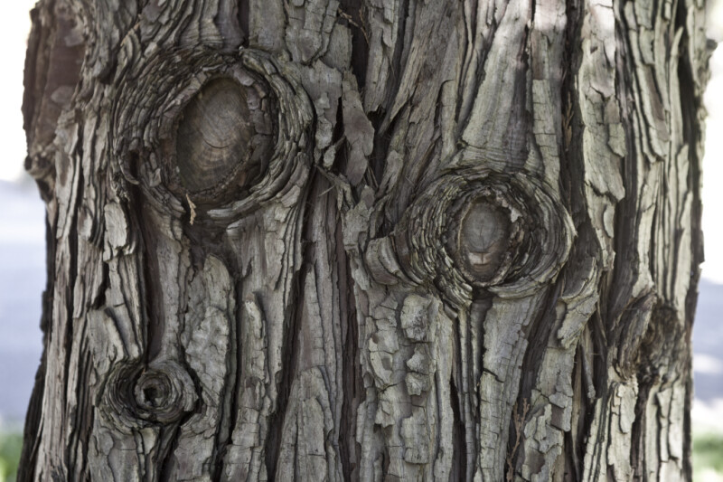 Bark of a California Incense Cedar