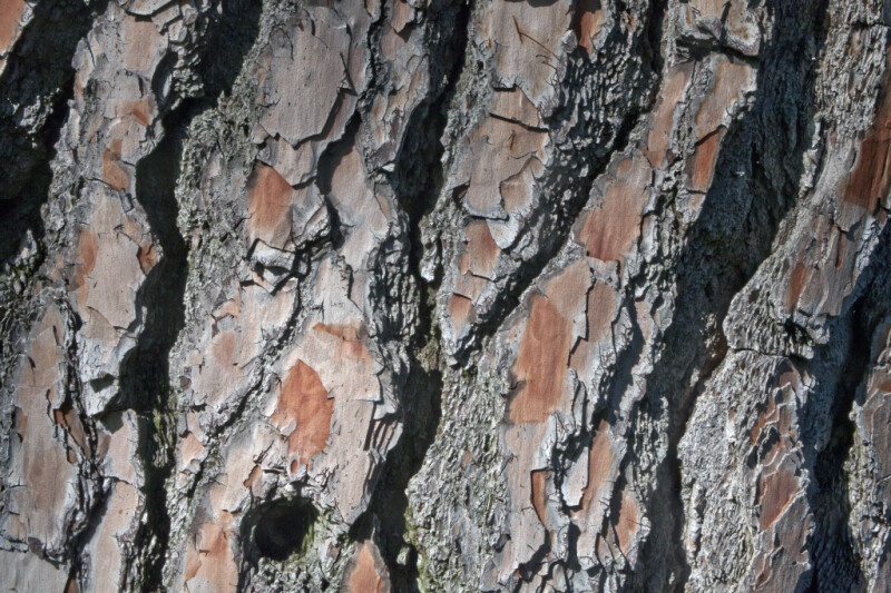 Bark of a Chir Pine