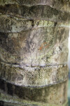 Bark of a Coconut Tree
