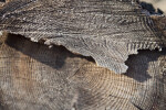 Bark of a Cut Tree Trunk