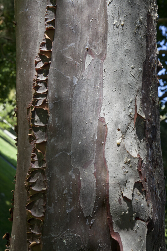 Bark of a Guadalupe Island Cypress Tree