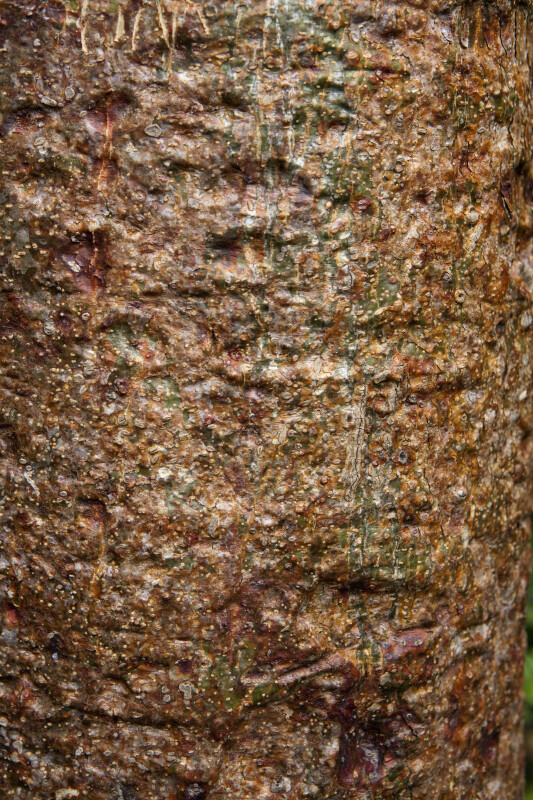 Bark of a Gumbo-Limbo Tree with Red, Brown, and Green Colors
