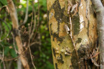 Bark of a Gumbo-Limbo Tree