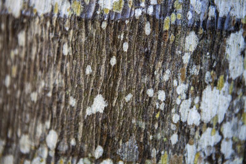 Bark of a Nicobar Palm
