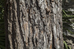 Bark of a Pecan Tree at the Alamo Mission
