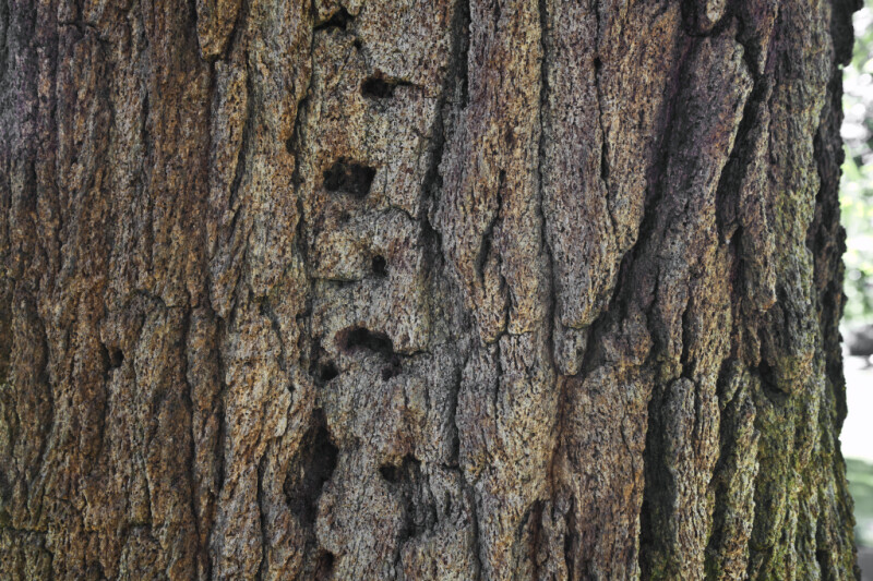 Bark of a Red Ironbark Tree