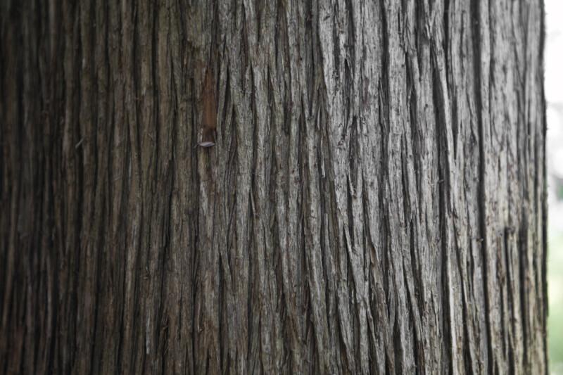 Bark of a Sawara Cypress that is Peeling Slightly