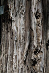 Bark of a Soquel Coast Redwood