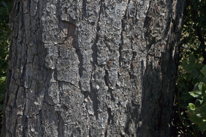 Bark of a Torrey Pine Tree