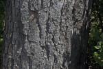 Bark of a Torrey Pine Tree