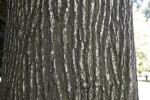 Bark of an American Sweetgum Tree