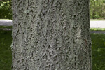 Bark of an Amur Cork Tree