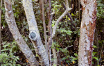 Bark of the Blolly (Pisonia discolor)