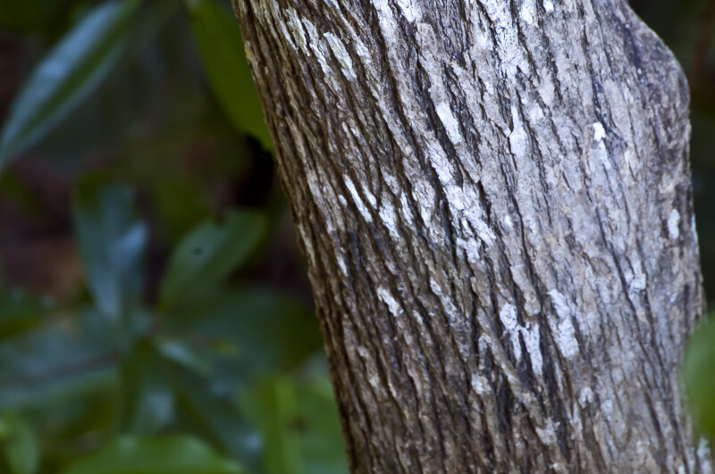 Bark of the Strongbark Tree